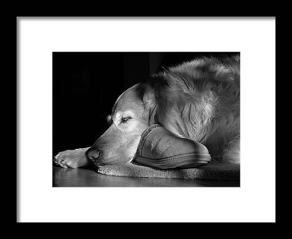 Golden Retriever Framed Print featuring the photograph Golden Retriever Dog With Master's Slipper Black And White by Jennie Marie Schell
