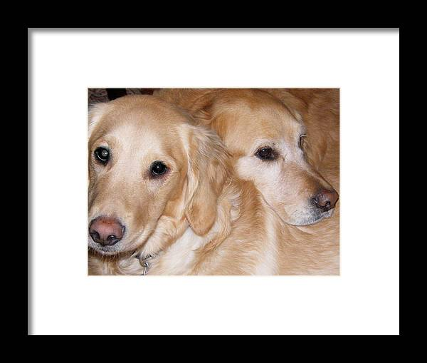 Dogs Framed Print featuring the photograph Golden Retrievers by Ali Wright