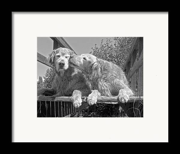 Golden Retriever Framed Print featuring the photograph Golden Retrievers The Kiss Black And White by Jennie Marie Schell