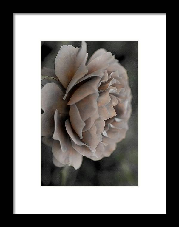 Flower Framed Print featuring the photograph Golden Shade Rose by Panos Trivoulides