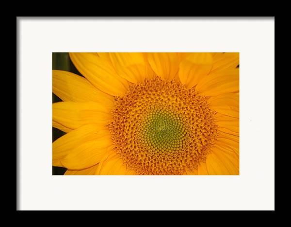 Sunflower Framed Print featuring the photograph Golden Sunflower by Liz Vernand