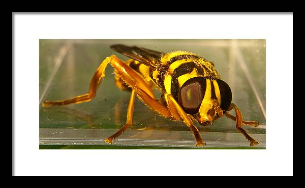 Syrphid Framed Print featuring the photograph Golden Syrphid by Douglas Barnett