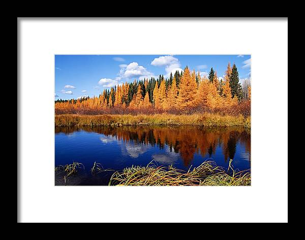 Spruce River Framed Print featuring the photograph Golden Tamaracks Along The Spruce River by Larry Ricker