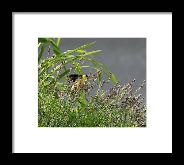 Goldfinch Framed Print featuring the photograph Goldfinch by Gregory Blank