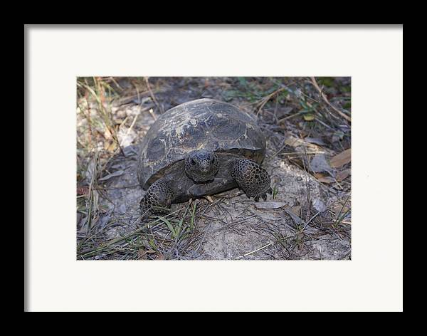 Turtle Framed Print featuring the painting Golpher Mom 2 by Debbie May