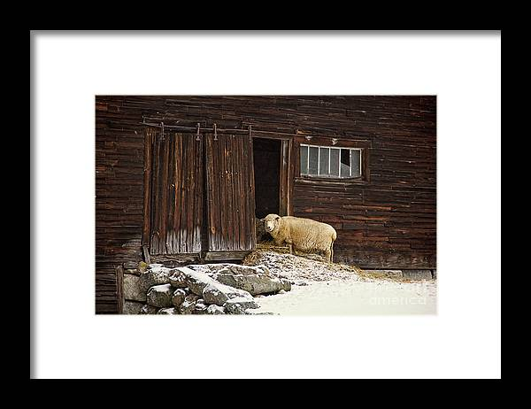Sheep Framed Print featuring the photograph Good Morning by Diana Nault