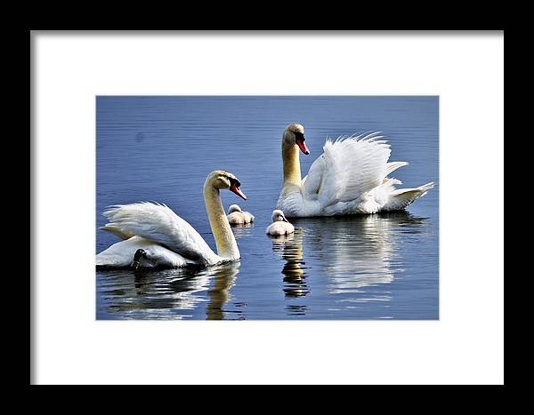 Swans Framed Print featuring the photograph Good Parents by CK Brown