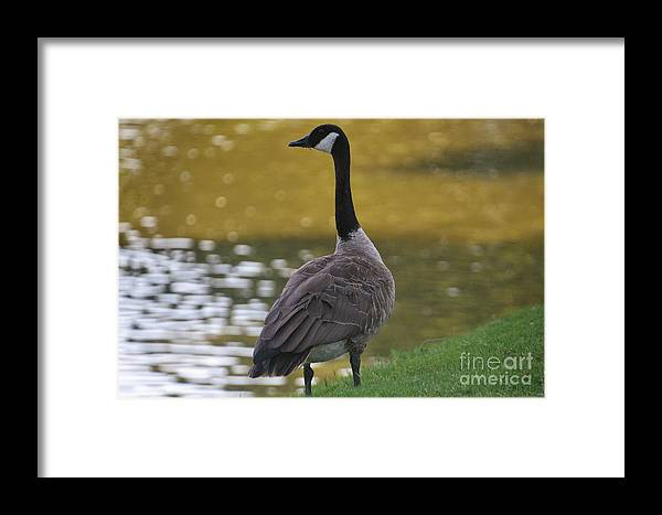 Framed Print featuring the photograph Goose by James G