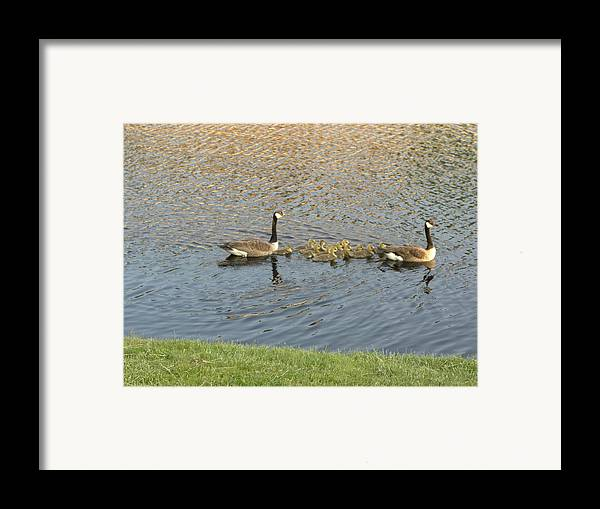 Geese Framed Print featuring the photograph Goose Pond 1 by Nancy Ferrier
