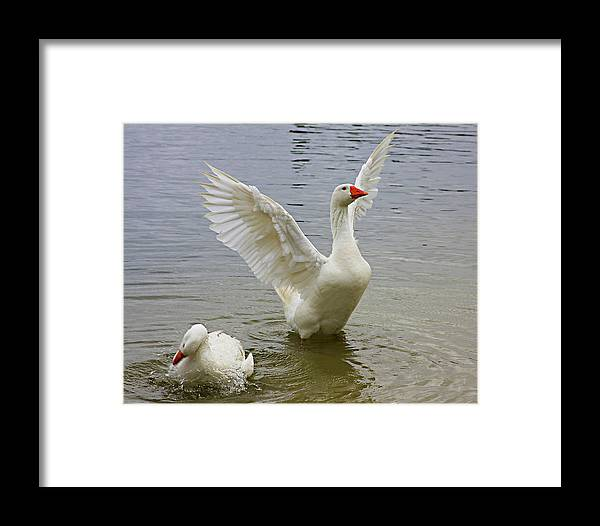 Geese Framed Print featuring the photograph Goose Struting by Francesco Roncone