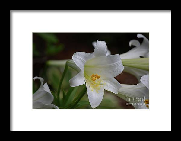 Lily Framed Print featuring the photograph Gorgeous Blooming White Lily With Yellow Pollen On It's Stamen by DejaVu Designs