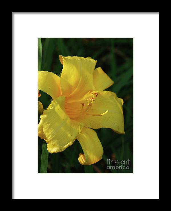 Lily Framed Print featuring the photograph Gorgeous Flowering Yellow Daylily Blooming In A Garden by DejaVu Designs