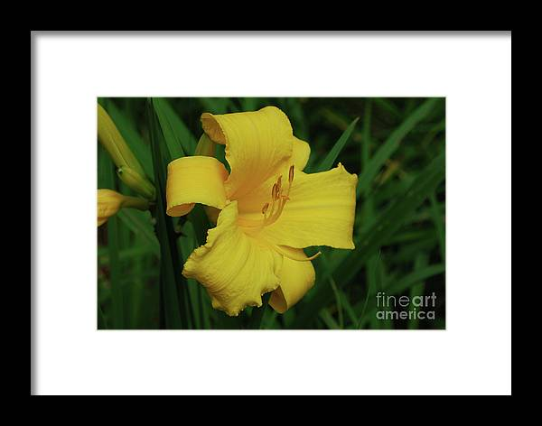 Lily Framed Print featuring the photograph Gorgeous Yellow Daylily In A Garden Blooming by DejaVu Designs