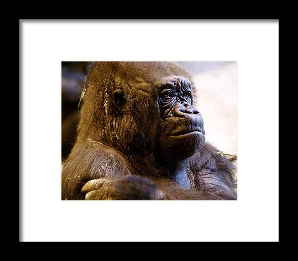 Zoo Framed Print featuring the photograph Gorilla Headshot by Sonja Anderson