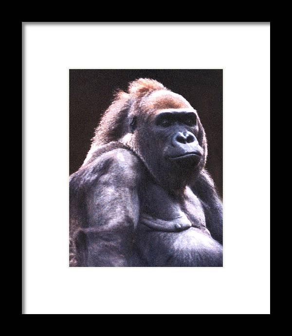 Gorilla Framed Print featuring the photograph Gorilla by Steve Karol
