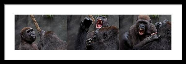 Animal Framed Print featuring the photograph Gorillas Fighting by Michele Stoehr