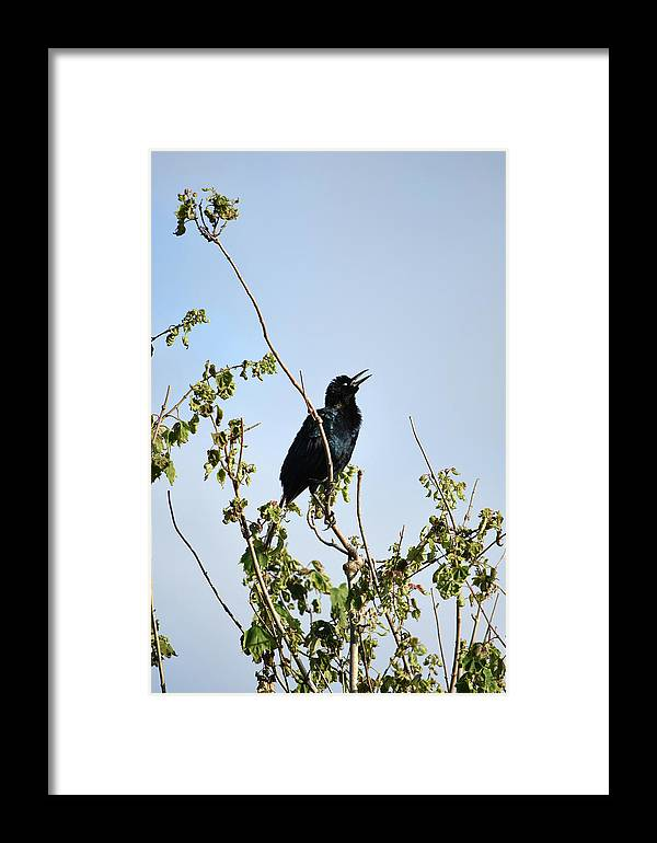 Grackle Cackle Framed Print featuring the photograph Grackle Cackle by William Tasker