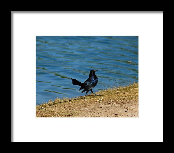 Grackle Framed Print featuring the photograph Grackle On The Move by Teresa Stallings