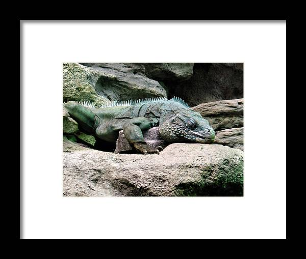 Lizard Framed Print featuring the photograph Grand Cayman Blue Iguana by Angelina Tamez