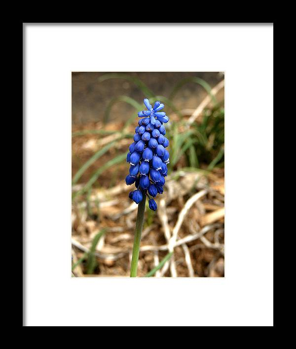Flower Framed Print featuring the photograph Grape Hyacinth by Dave Chafin