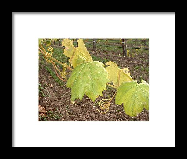 Grape Framed Print featuring the photograph Grape Leaves At Fess Parker by PJ Cloud