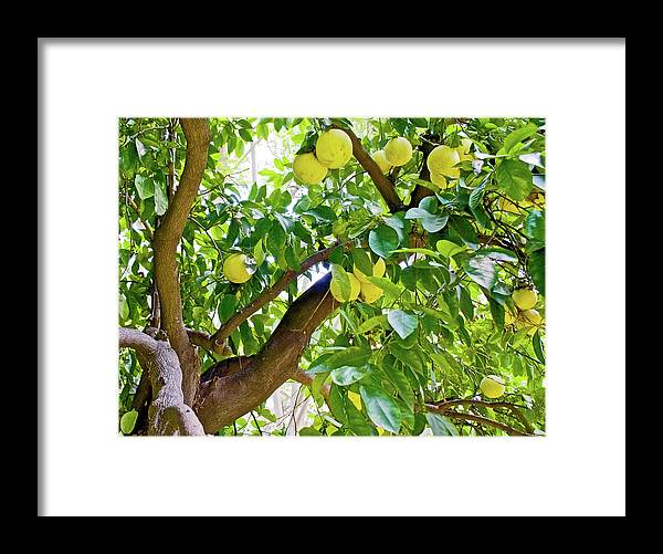 Grapefruit Tree At Pilgrim Place In Claremont Framed Print featuring the photograph Grapefruit Tree At Pilgrim Place In Claremont-california  by Ruth Hager