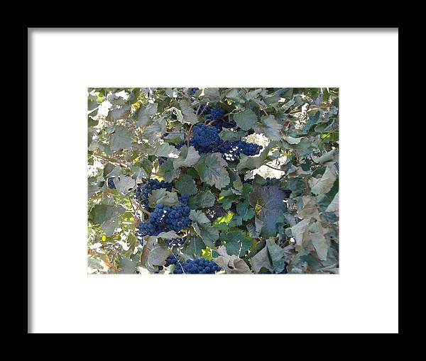 Grape's At Harvest Time Framed Print featuring the photograph Grape's At Harvest Time by Alice Eckmann