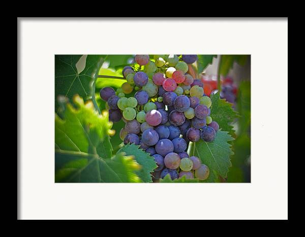 Grapes Winery Wine Leaves Landscape Photography Canvas Greeting Cards Fruit Grape Vine Vino Vineyard Framed Print featuring the photograph Grapes by Kelly Wade