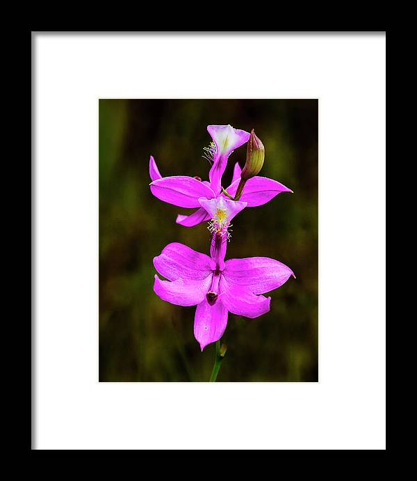 Orchid Framed Print featuring the photograph Grass Pink Orchid by Jerry Lohman