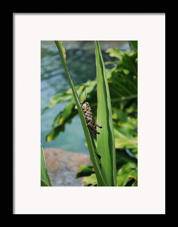 Field Framed Print featuring the photograph Grasshopper by Margaret Fortunato