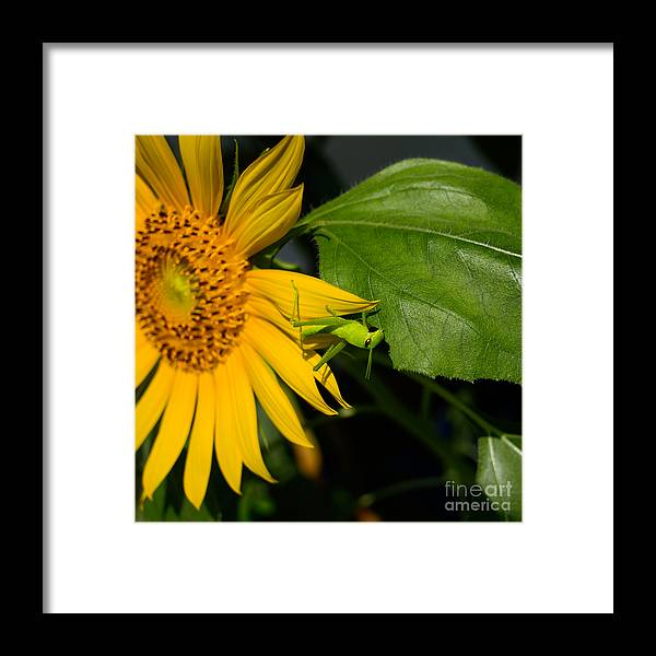 Grasshopper Framed Print featuring the photograph Grasshopper On Sunflower by Rolf Bertram