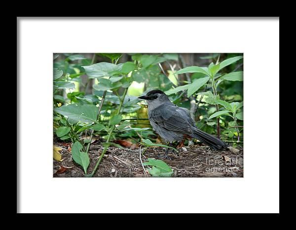 Bird Framed Print featuring the photograph Gray Catbird by Debra Straub