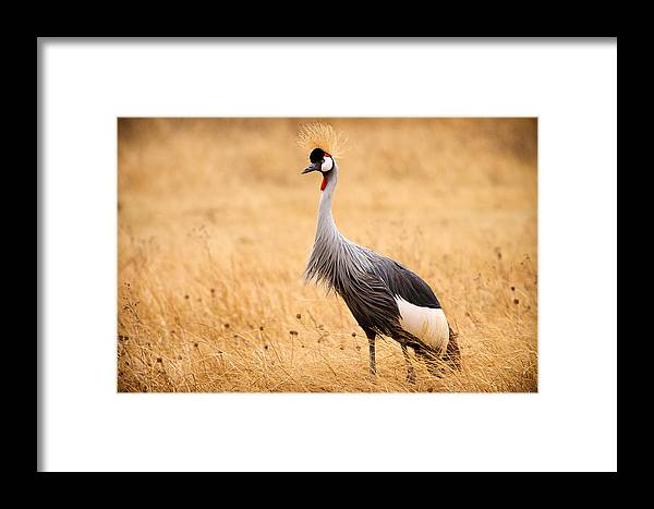 3scape Photos Framed Print featuring the photograph Gray Crowned Crane by Adam Romanowicz
