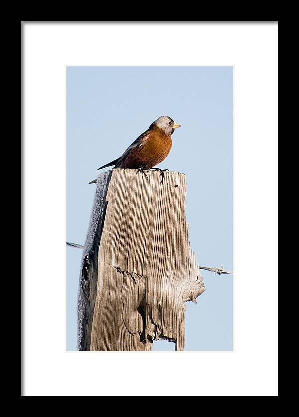 Photography Framed Print featuring the photograph Gray-crowned Rosy-finch by Joel Brady-Power