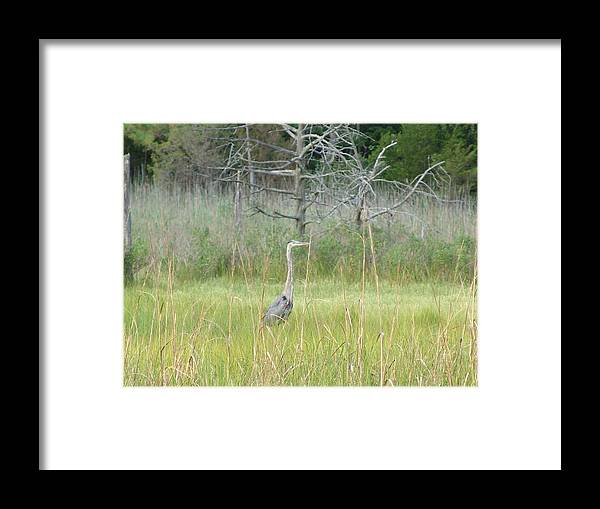 Bird Framed Print featuring the photograph Gray Ghost by Kevin Callahan