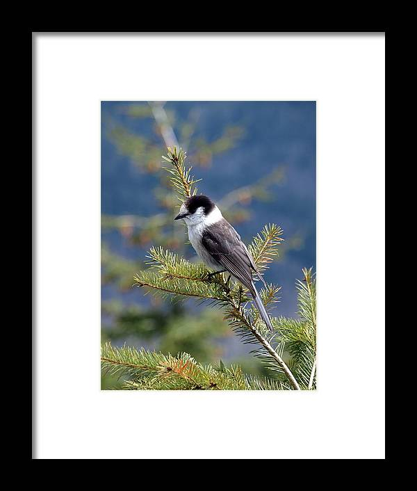 Gray Framed Print featuring the photograph Gray Jay 3 by Helene Keehne