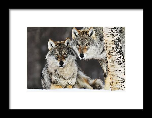 Mp Framed Print featuring the photograph Gray Wolf Canis Lupus Pair In The Snow by Jasper Doest