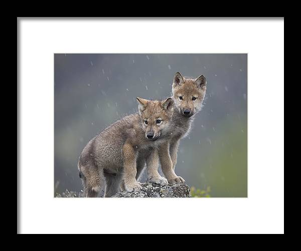 Mp Framed Print featuring the photograph Gray Wolf Canis Lupus Pups In Light by Tim Fitzharris