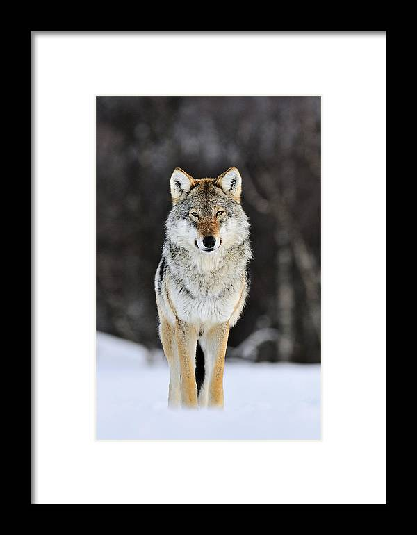 Mp Framed Print featuring the photograph Gray Wolf In The Snow by Jasper Doest