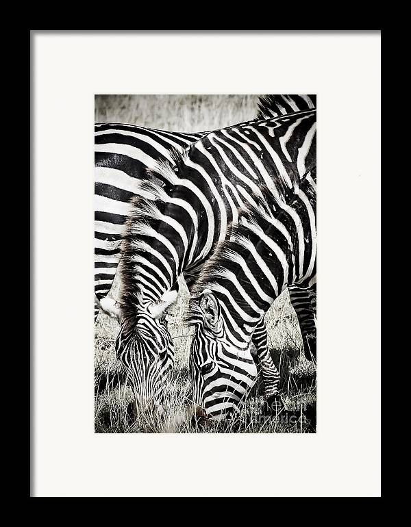 Africa Framed Print featuring the photograph Grazing Zebras Close Up by Darcy Michaelchuk