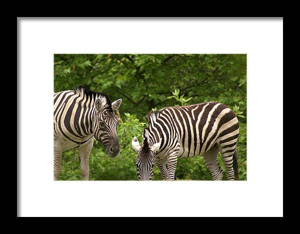 Animal Framed Print featuring the photograph Grazing Zebras by Sonja Anderson