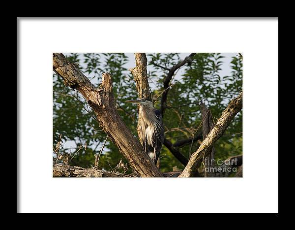 Great Blue Heron Framed Print featuring the photograph Great Blue 2 by John Franke
