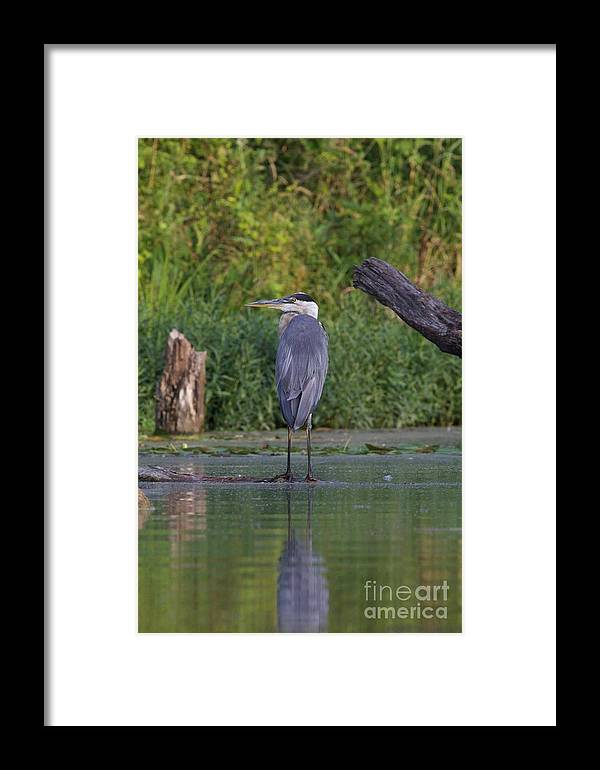 Great Blue Heron Framed Print featuring the photograph Great Blue 3 by John Franke