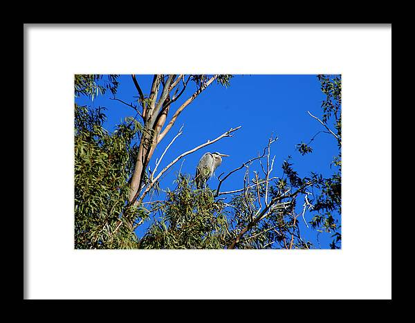 Great Blue Framed Print featuring the photograph Great Blue Heron In Eucalyptus Tree by Teresa Stallings