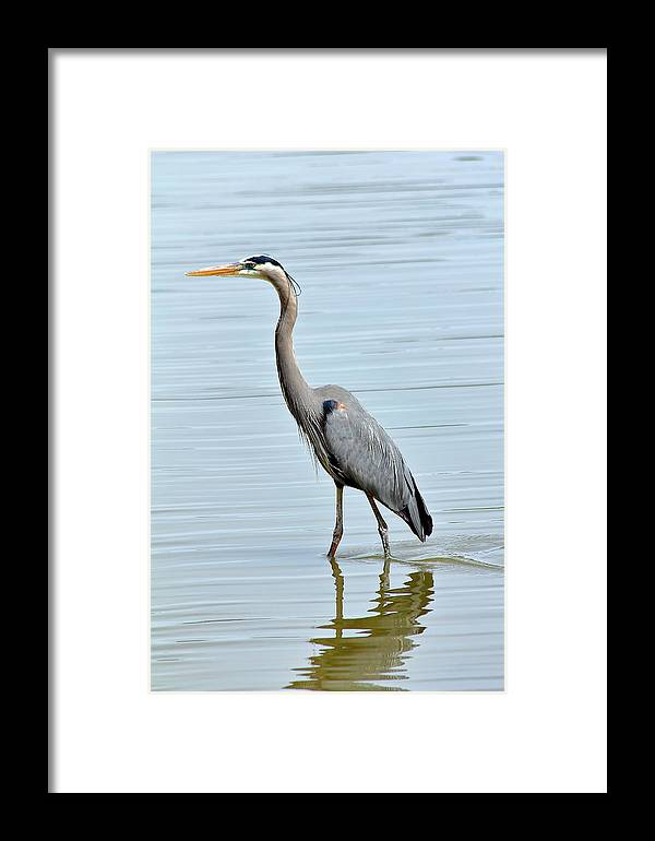 Bird Framed Print featuring the photograph Great Blue Heron In River by Daniel Caracappa