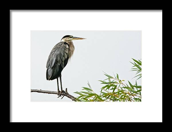 Nature Framed Print featuring the photograph Great Blue Heron in the Rain by Zayne Diamond Photographic