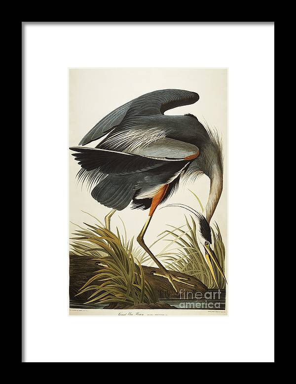 Great Blue Heron Framed Print featuring the drawing Great Blue Heron by John James Audubon