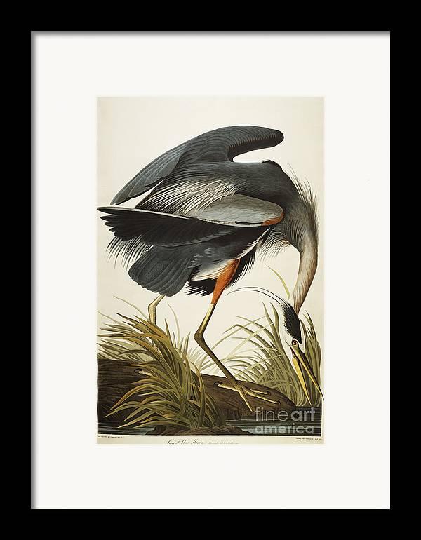 Great Blue Heron (ardea Herodias) Plate Ccxi From 'the Birds Of America' (aquatint & Engraving With Hand-colouring) By John James Audubon (1785-1851) Framed Print featuring the drawing Great Blue Heron by John James Audubon