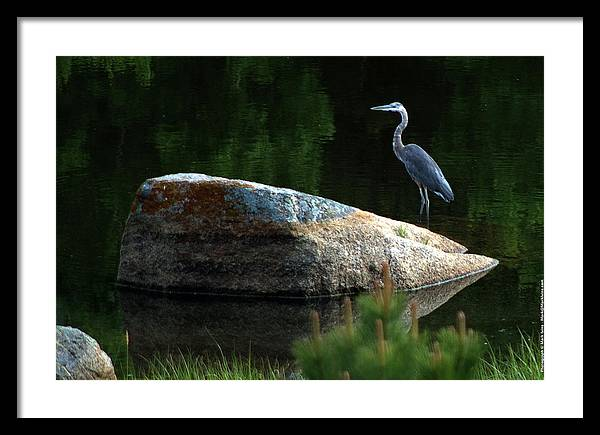 Heron Framed Print featuring the photograph Great Blue Heron by Mark Ivins