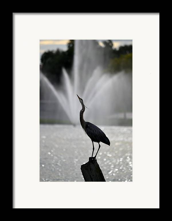 Great Blue Heron On Post Looking Up Framed Print by rd ...